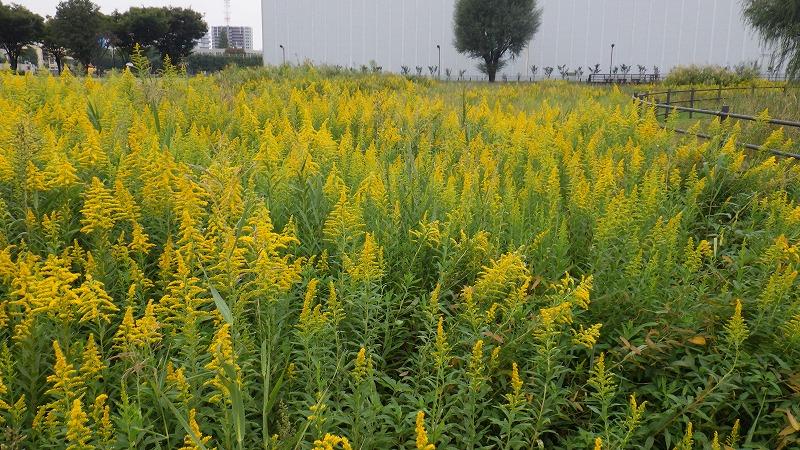 ナビタスクリニック » Blog Archive » 第3の花粉症、「ブタクサ